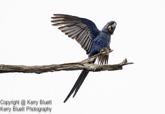 Hyacinth Macaw (Anodorhynchus Hyacinthinus) (KerryBluett) Tags: canon 100400ii 7dmkii birds brazil pantanal macaw hyacinth wildlife