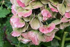 Welkende Hortensienblten - Withering hydrangea blossoms whet from watering (riesebusch) Tags: berlin garten marzahn