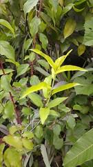 Scion nectarine in prunus mume (mario.melhado) Tags: prunusnectarine prunusmume prunus em nectarina rosaceae