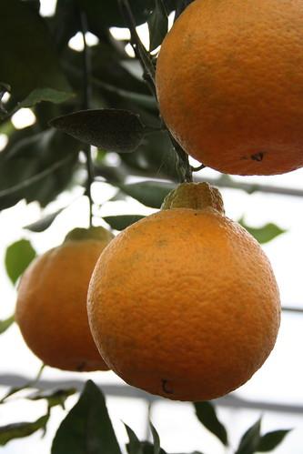 potager NAKANOの柑橘類(その4)