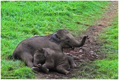 Carelessness... !!! (Naseer Ommer) Tags: india elephant kerala asianelephant westernghats munnar elephasmaximus indianelephant naseerommer discoverplanetinternational