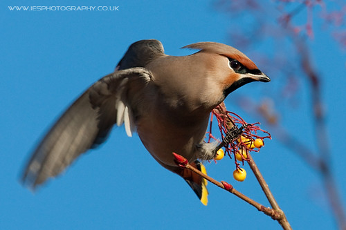 5214761991 717ac84a39 Waxwings in the UK