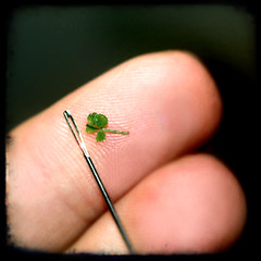 This 4 leaf clover would fit through the eye of a needle ttv (isewcute) Tags: plant green eye nature small needle tiny lucky fourleafclover fingertips 4leafclover ittybitty ttv isewcute