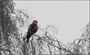 Red Kite and Silver Birch (jo92photos) Tags: uk winter red england tree bird tag3 taggedout rural garden countryside tag2 tag1 wildlife explore raptor perched berkshire birdofprey silverbirch countrylife bradfield redkite perching milvusmilvus wildbird gardenbird ©allrightsreserved westberkshire s100fs jo92photos wildlifecountryside
