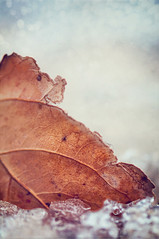 335/365: Seasons of Wither (pixelmama) Tags: autumn fall leaf december bokeh lakemichigan montroseharbor gettyimages 2010 chicagoillinois project365 firstsnowoftheseason hbw bokehwednesday firstdayofdecember seasonsofwither 3652010 pixelmama trappedintheice