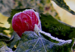 Escarcha (magda196) Tags: winter flower fleur garden frost flor jardin hibiscus invierno magda escarcha magda196