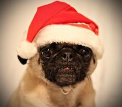 Sweet Santa. (WeeLittlePiggy) Tags: santa christmas xmas red dog pet white holiday hat puppy pig pug pork elf