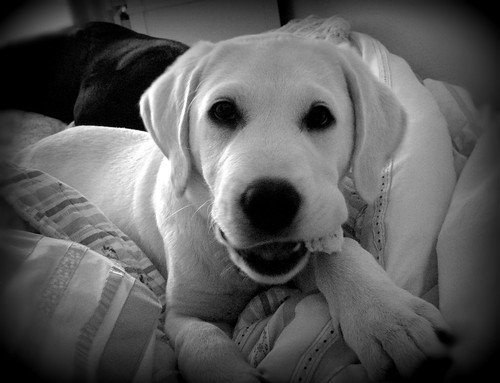 Cooper - yellow Labrador Retriever