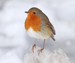 Robin on ice (vic_206) Tags: uk snow bird ice robin erithacusrubecula nieve pajaro hielo petirrojo donnanook canon300f4lis canoneos7d