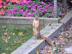 "Aug06_StandingSquirrel • <a style=""font-size:0.8em;"" href=""http://www.flickr.com/photos/30765416@N06/5247464297/"" target=""_blank"">View on Flickr</a>"