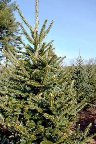 Potential Christmas Tree