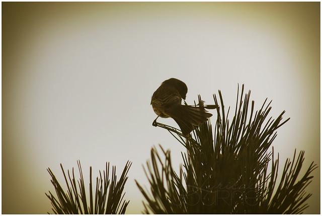 Bird on a Pine