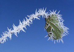 Natural tinsel on frosty plant (Ultrapurple) Tags: winter sky white cold ice leaf stem pretty frost hoarfrost bluesky needle tinsel finepix fujifilm chilly icy rime softrime s5700 fimefrost