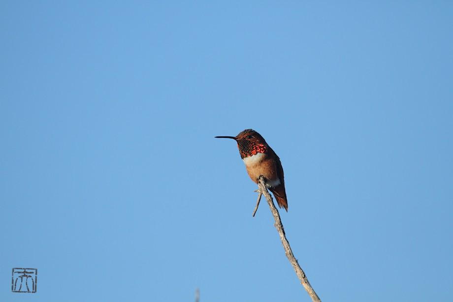Allen's Hummingbird 121310-2