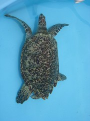 Tartarugas - Projeto Tamar Sul (atramos) Tags: brazil florianpolis turtles 1024x768 tartarugas praiadabarra republished least500ii