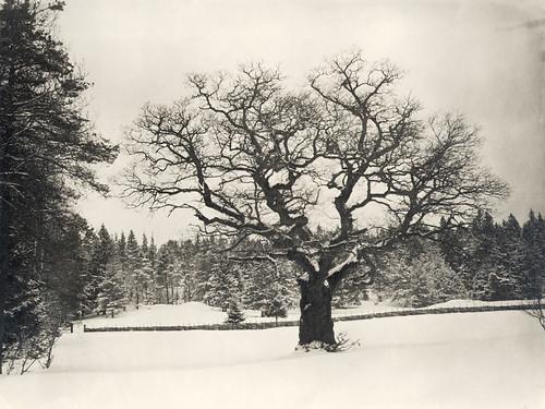 Oak, Djurgården, Stockholm