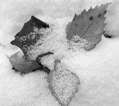 Leaves in Snow (cycle.nut66) Tags: leica winter blackandwhite bw snow monochrome leaves lumix panasonic summicron fallen greyscale lx3
