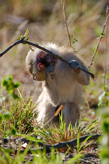 Botswana Okavango Delta _D7C15937 (youngrobv) Tags: africa southafrica nikon african wildlife delta safari afrika botswana rv fx photosafari notc afrikaans okavango okavangodelta robale 0908 200400mmf4gvr bechuanaland d700 youngrobv lefatshelabotswana d7c15937