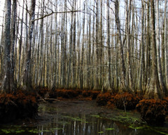 i know a place unknown (Nola Nate) Tags: trees winter reflection nature water forest landscape outdoors woods louisiana swamp wetlands cypress chicotstatepark ibeauty chicotswamp