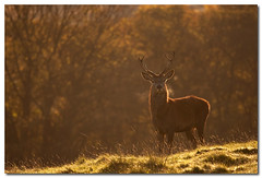 Juvenile red deer stag backlit at dawn (Poyntonshoot Mike) Tags: autumn red canon dawn stag breath young deer 1d backlit juvenile autumnal rut ineffable