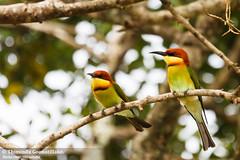 Chestnut-headed Bee-eater (Thimindu) Tags: bird birds wildlife nationalparks beeeater chestnutheadedbeeeater meropsleschenaulti yalanationalpark
