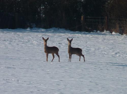 Deer Clone