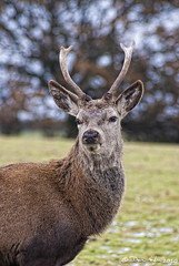 Red Deer Stag (vaughaag) Tags: christmas red rescue white southwest west up stag december close sony south centre deer a200 herd 75300 fallow sal sika a200sony
