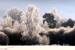Gleaming trees (:Linda:) Tags: snow tree germany village hoarfrost thuringia raureif birke birchtree brnn rauhreif birkenbaum