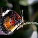 Butterfly-2342
