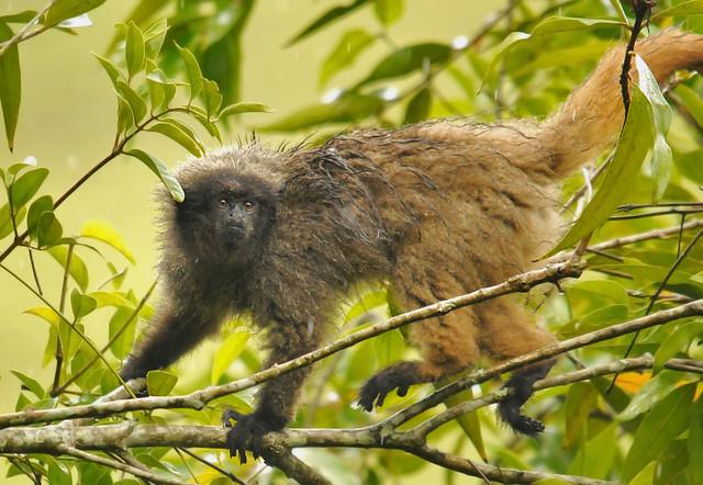 Macaco Guigó - Callicebus coimbrai - 9770