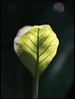 India. NEW (lalie sorbet) Tags: new light wild india macro green nature leaves closeup canon wildlife birth sorbet lalie