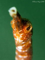 Short-tailed Pipefish (Brian Mayes) Tags: canon singapore underwater scuba diving 1090 g9 pulausemakau brianmayes shorttailedpipefish canong9 trachyrhamphusbicoarctatus