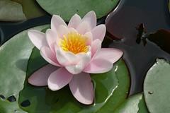 L1220195 (BS-Foto) Tags: water lilly seerose vlux1 leica bsfoto waterlilly garten teich pond reinhartshausen garden leicavlux1 leicavlux vlux leicacompactcameras