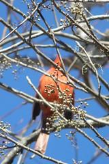 berries and cardinal