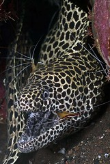 Honeycomb Moray eel with ambon cleaner shrimp