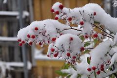 North Texas Snow Berries (Snobes Notas) (retiredPhil) Tags: snow d90 greenvilletx vanagram