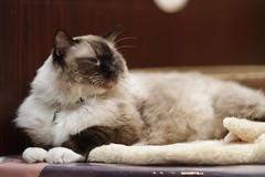 animal cat 猫 ragdoll 動物 catcafe ラグドール canonef85mmf12liiusm 猫カフェ canoneos7d