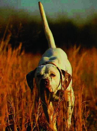 Greystone Dog