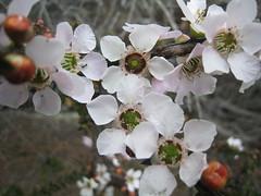 Tea Tree IMG_2563 (MargaretDonald) Tags: teatree myrtaceae leptospermum barranjoey leptospermumsquarrosum