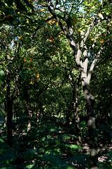 Séville / Jardin de l'Alcazar / Sous-bois aux orangers (Sébastien Lucas) Tags: orange jardin ombre alcazar paysage séville oranger andalousie philodendron végétation sousbois feuillage jardinméditerranéen jardinaraboandalou