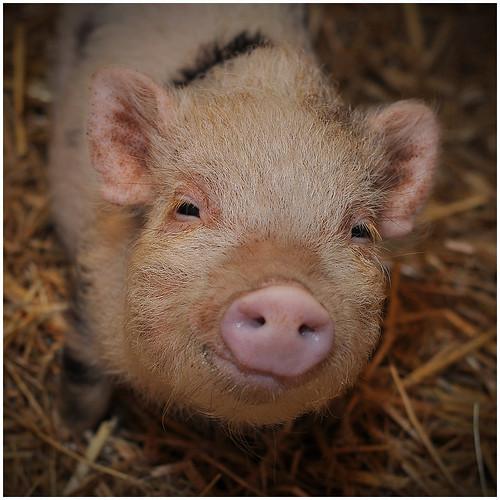 Smiling piglet