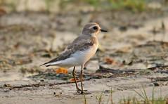 Lesser Sand Plover (Gurusan2010) Tags: birds tamilnadu charadriusmongolus lessersandplover eos400d canoneos400d tamilnadubirds sigma120400