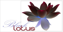 Black Lotus Flower Design - Black-Lotus-54 (Bahman Farzad) Tags: black flower macro yoga design peace lotus relaxing peaceful meditation therapy lotusflower lotuspetal blacklotus lotuspetals lotusflowerpetals balcklotusflower lotusflowerpetal