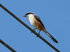 Long-Tailed Shrike (SivamDesign) Tags: bird fauna lumix panasonic shrike longtailed laniusschach longtailedshrike fz8 dmcfz8
