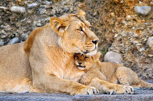 [フリー画像] 動物, 哺乳類, ネコ科, ライオン, 家族・親子(動物), 201101211100