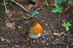 my favourite robin (Brenda Malloy) Tags: ireland dublin bird sweet song brenda malloy canon450 brendamalloy diogenes24