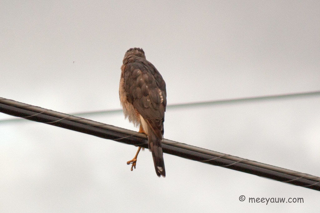 Juvenile Red-tailed Hawk  16.jpg