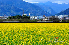 20110118_0234a_花東縱谷_油菜花季