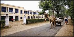 Ashok Bhavan (Prabhu B Doss) Tags: winter india college hostel nikon university camel cart bits ashok rajasthan bhavan pilani d80 prabhub prabhubdoss zerommphotography 0mmphotography