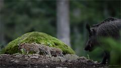 young boars (klaus.huppertz) Tags: neuschnau outdoor tier animal schwein wildschwein sugetier mammalian boar wildboar swine wildswine eurasianwildpig pig natur nature bayerischerwald bavarianforest sus susscrofa bache frischling youngboar jungtier tele telephoto 300mm nikon nikkor nikond750 d750 gehege freigehege wildpark altschnau nikkor300mm nikkor300mm28 nikonafsvrnikkor300mmf28gifed 300mmf28gvrii enclosure nationalpark outdoorenclosure wildlifepark refuge animalrefuge